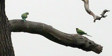 parakeets1.jpg