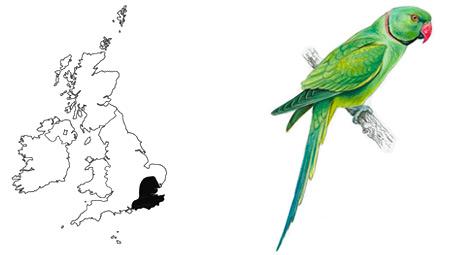Ring Necked Parakeet Distribution Uk